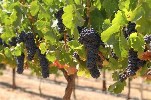 vineyard-photos-020_1