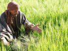 lalang dan gandum